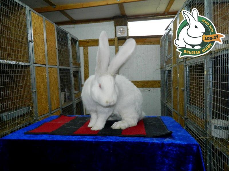 Белый кролик в домашних условиях