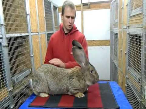 Кролики ризен разведение и содержание в домашних условиях - TurnPike